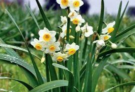 سطح زیر کشت گل نرگس در کازرون افزایش یافت