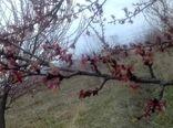 خسارت سرمازدگی در اراضی زراعی و باغی گلپایگان