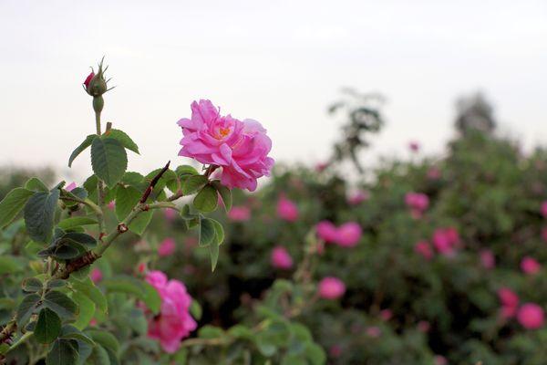 آغاز برداشت گل محمدی در 450 هکتار از باغات استان قم