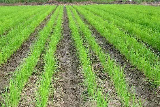 خشکه کاری برنج در گیلان و مازندران ریسک بالایی دارد