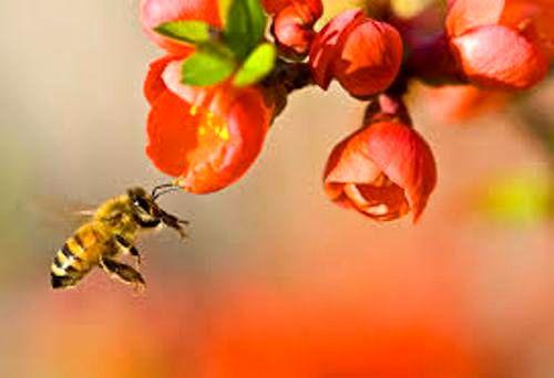 تلقیح در باغات با بهرهگیری از کندوهای زنبور عسل