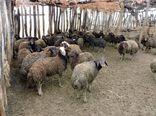 آغاز واکسیناسیون بیماری تب مالت در  شهرستان چوار