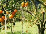 احداث باغات مادر مرکبات و میوههای گرمسیری در سیستان و بلوچستان و جنوب کرمان/ توسعه موز در مناطق جنوبی با ایجاد سایهبان