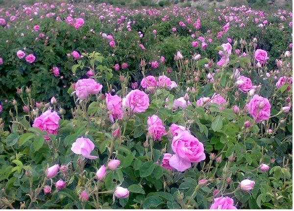 ارزآوری 10میلیون دلاری صادرات فرآورده های گل محمدی