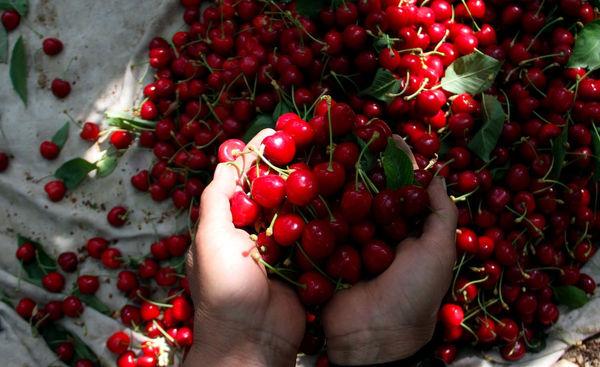 7247 تن گیلاس از باغات استان سمنان برداشت شد