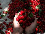 تولید سالانه دو هزار و 200 تن گیلاس در آذربایجان غربی