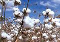 تولید ۲۲۸ هزار تن وش پنبه در سال زراعی جاری