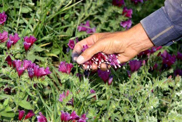 توسعه ۵۰ هکتاری کشت گیاهان دارویی در قزوین