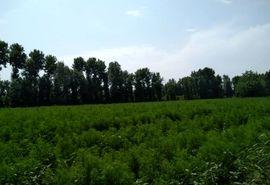 گیاه جارو برای نخستین بار در شهرستان قدس کشت شد