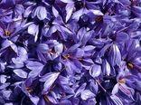 """برداشت """"گل زعفران"""" در مناطق کوهستانی گیلان آغاز شد"""