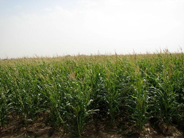 برداشت ذرت علوفه ای از مزارع کشاورزی استان قزوین آغاز شد
