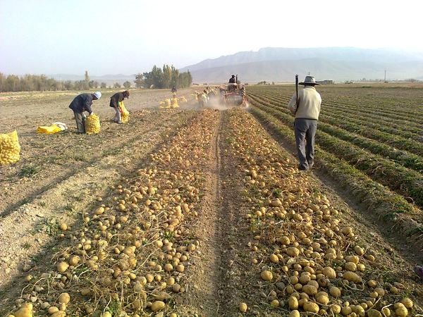 پیشبینی برداشت ۳۶۰ هزار تن سیب زمینی در کردستان