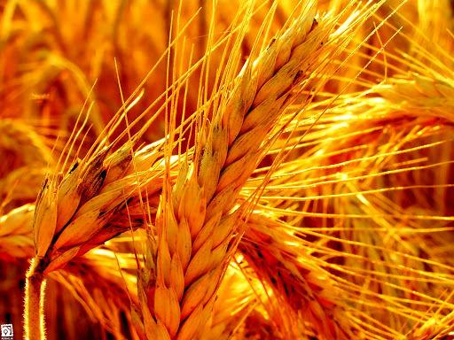 78 درصد از کشت گندم استان چهارمحال و بختیاری انجام شده است