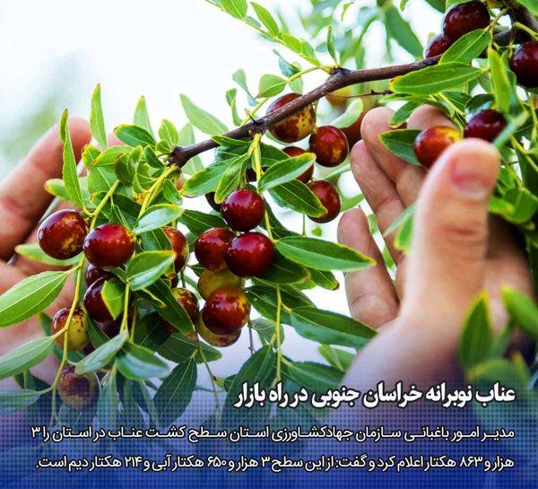عناب نوبرانه خراسان جنوبی در راه بازار