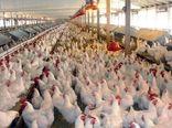 تولید بیش از 4هزار تن مرغ گوشتی در شهرستان فیروزکوه