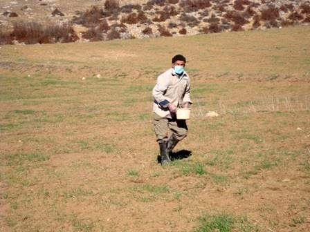 مبارزه با جوندگان مضر در 3600 هکتار از اراضی زراعی بهشهر