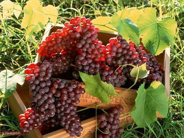 مصر، میزان صادرات انگور پاییزه خود را افزایش میدهد