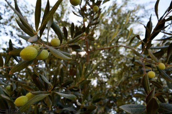 طرح جوان سازی باغات سنتی زیتون بر روی  ۲۷ هزار اصله درخت در حال انجام است