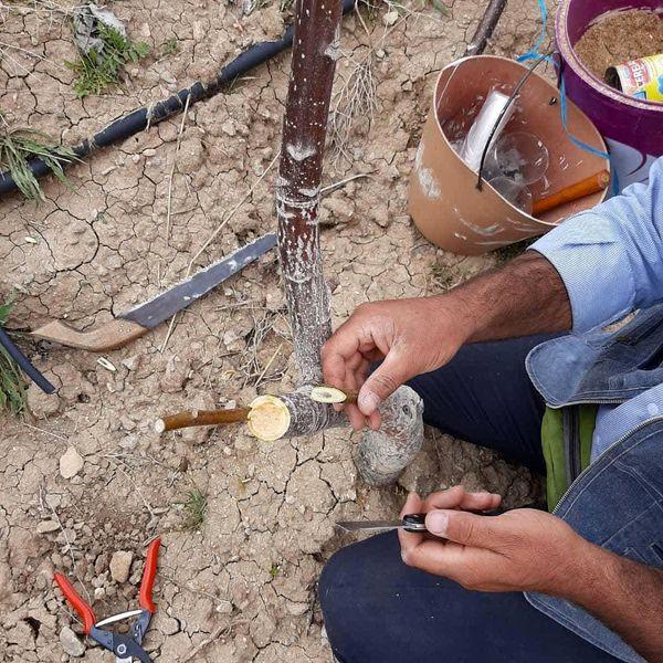 سرشاخه کاری و پیوند درختان گردو در شهرستان کوهرنگ آغاز شد