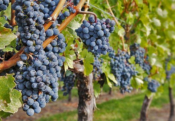 برداشت بیش از ۹ هزار تُن انگور از تاکستانهای بانه