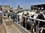 سبوس مورد نیاز دامداران استان بوشهر تامین و توزیع شد