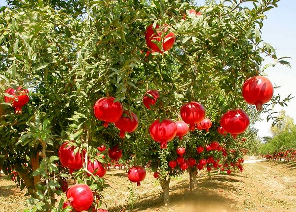 برداشت 34 هزار تن انار از 3073 هکتار از باغات این استان