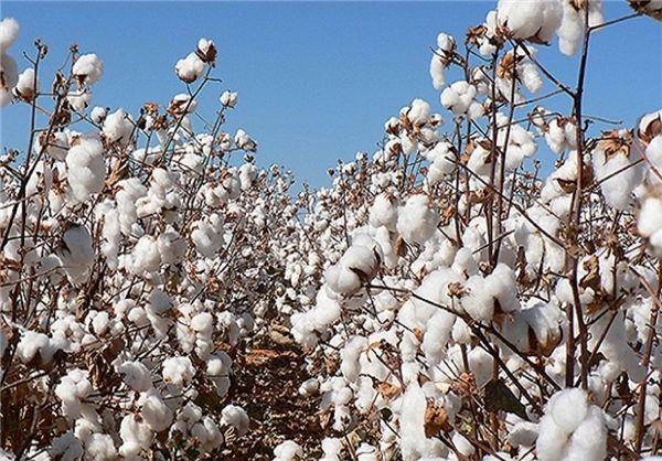 افزایش ۱۵ درصدی تولید پنبه در خراسان شمالی