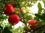 برداشت 15800 تن انار از باغات یزد