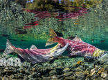 ماهی آزاد وحشی در آبهای پاسیفیک