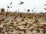 کشاورزان گناوه مراقب حمله احتمالی ملخهای صحرایی باشند