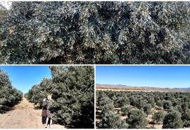 پیشبینی برداشت  ۹۳ تن زیتون در استان خراسان جنوبی