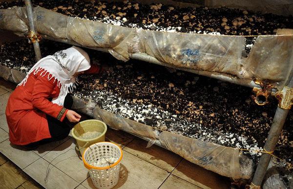 پیش بینی تولید بیش از 75 تن قارچ خوراکی در شهرستان نمین