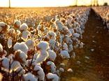 رشد 18درصدی تولید پنبه در کشور
