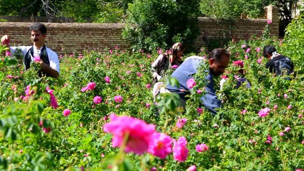 آغاز برداشت گل محمدی در شهرستان اردستان