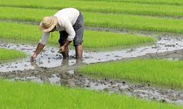 کشاورزان خراسان شمالی، یونجه را جایگزین برنج کنند