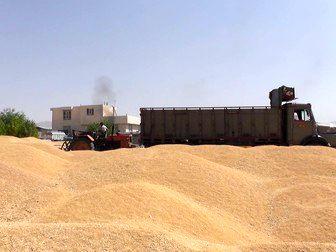 رکورد خرید تضمینی گندم در همدان زده شد