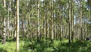 زراعت چوب در ۶۰۰ هکتار اراضی ملی خراسان شمالی اجرا میشود