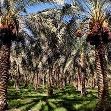 برداشت 8100 تن محصول خرما در شهرستان کرمان