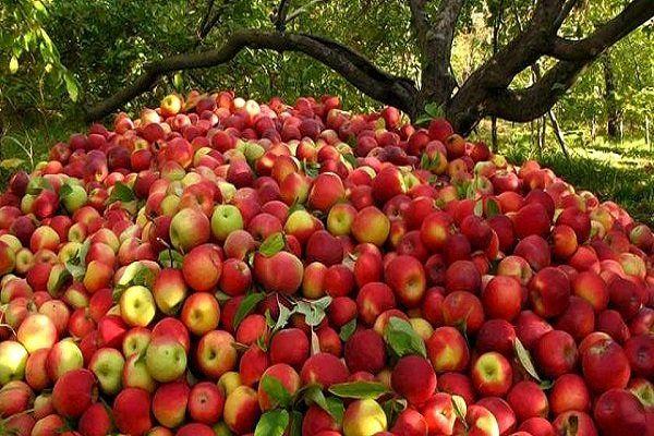 خرید 17هزار تن سیب صنعتی از باغداران آذربایجان غربی