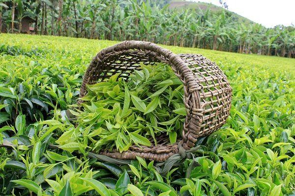 پرداخت 21 میلیارد تومان تسهیلات به فعالان صنعت چای در سال جاری
