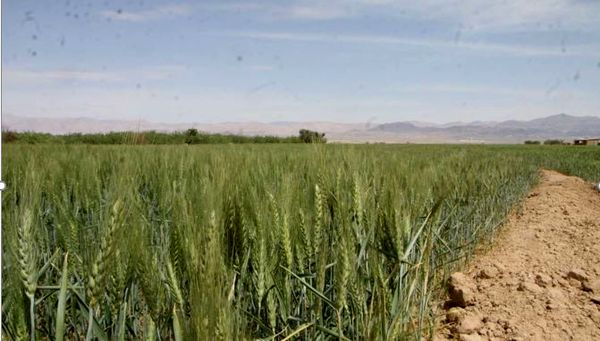 مبارزه با بیماریهای برگی در کشتزارهای خراسان شمالی