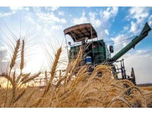 11 هزار تن گندم از کشاورزان نکایی خریداری شد