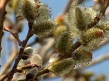 شمیم شکوفههای طلایی ارمغان بهار در آذربایجان غربی