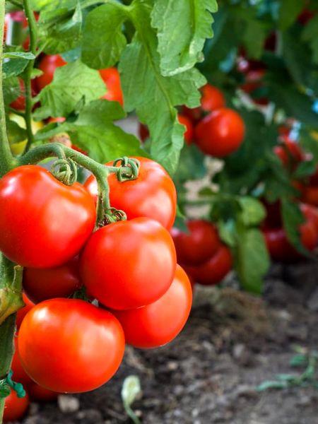 برداشت ۱۴۳ هزار تن گوجه فرنگی از مزارع شهرستان ارومیه