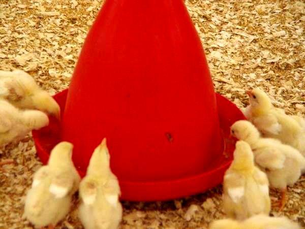 توان صادراتی 440 میلیون جوجه یکروزه و 300 هزارتن مرغ در مازندران