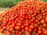 خرید 110 هزارتن گوجه فرنگی به منظور حمایت از کشاورزان