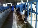 شهرستان دشتی دومین قطب تولید گوشت قرمز در استان بوشهر