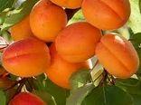 پیش بینی برداشت ۱۵ هزارتن محصول تابستانه در چهارمحال و بختیاری