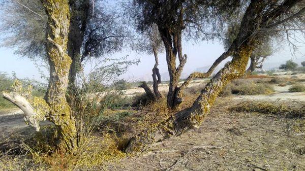سمپاشی و رصدملخ صحرایی به صورت شبانه روزی ادامه دارد