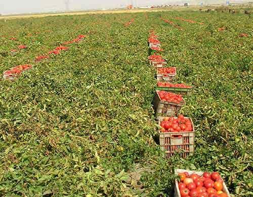 آغاز برداشت گوجه فرنگی از مزارع استان بوشهر